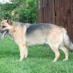 Handsome german shepherd