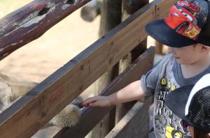 feeding a giraffe at the lion park